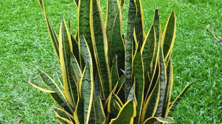 Why is My Snake Plant Not Growing? — Well, Here's Why