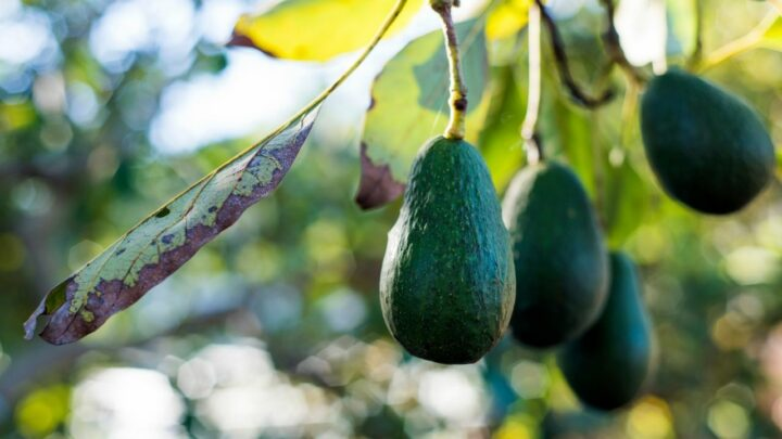 Why is My Avocado Tree Not Growing? The Answer