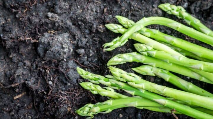 3 Tips On How To Prepare Asparagus For Winter