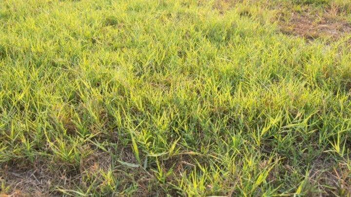3 Foolproof Ways How To Kill Bermuda Grass In Fescue Lawn
