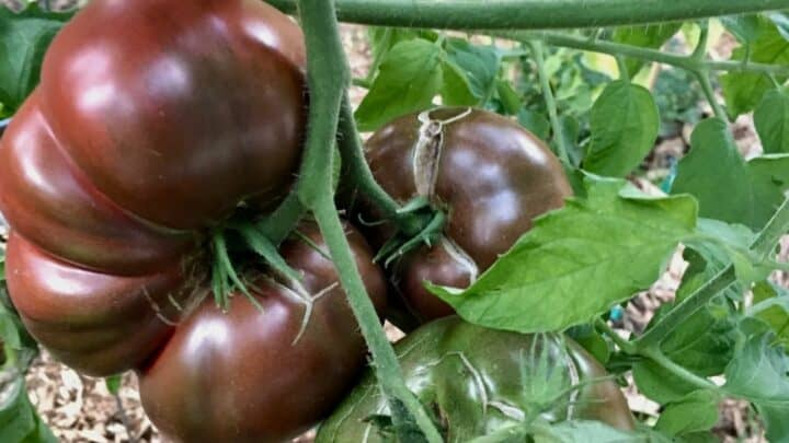 Purple Cherokee Tomato Plant Care — A Definitive Guide