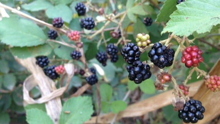How To Grow Blackberries From Cuttings? Here's The Answer!