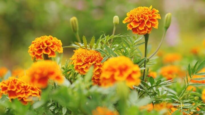 What is Eating My Marigolds? — Let's Find Out Right Now!