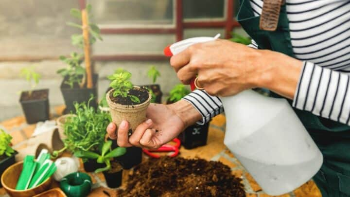 How Often To Water Basil? Must-Know Facts!