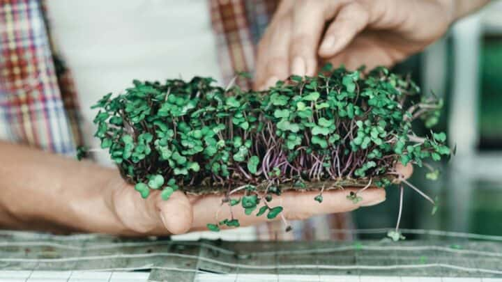 How To Grow Microgreens Without Soil The Right Way!