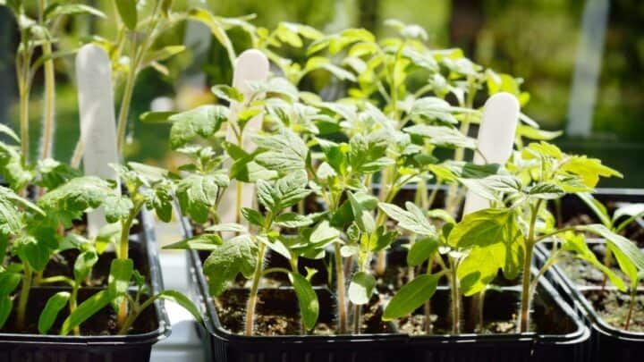Why Is My Tomato Seedlings Wilting?  Well, Here's Why!