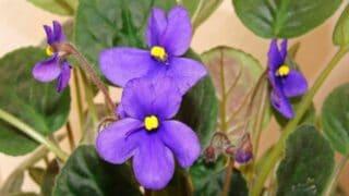 African Violet Leaves Turning Brown