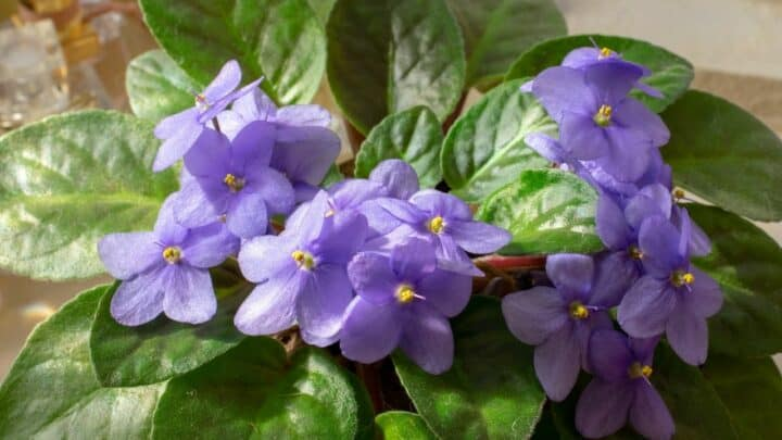 African Violet Diseases – All You Need to Know