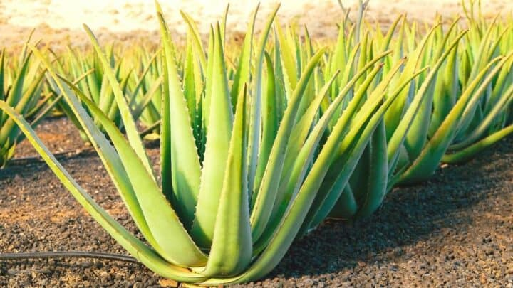 5 Reasons for Root Rot in Aloe Vera — Revealed