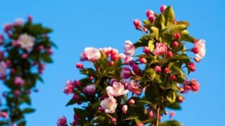 Begonia Stem Rot