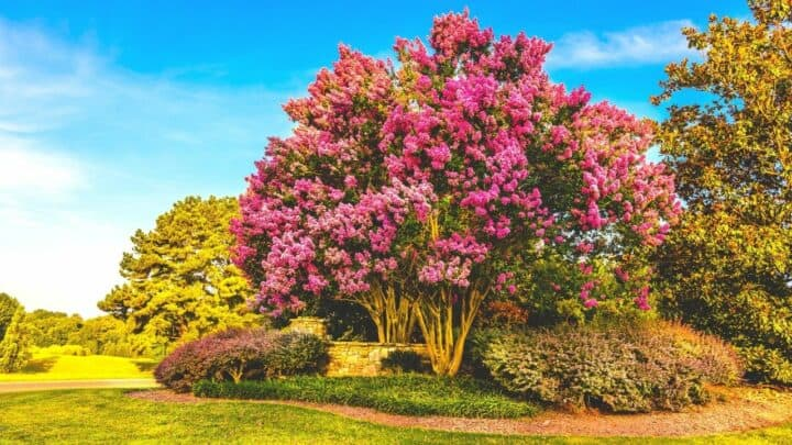 The 6 Best Plants to Plant under Crepe Myrtle Trees