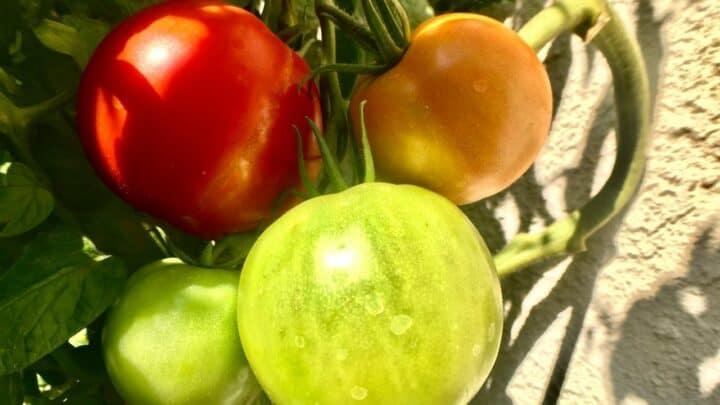 Better Boy Tomato Plant Care – A Definitive Care Guide