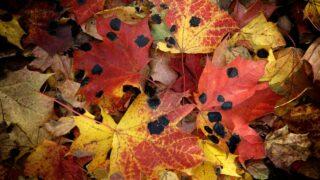 Black Spots On Maple Leaves