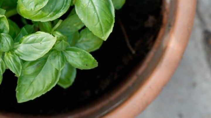 Top Reasons for Black Spots on Basil — Revealed
