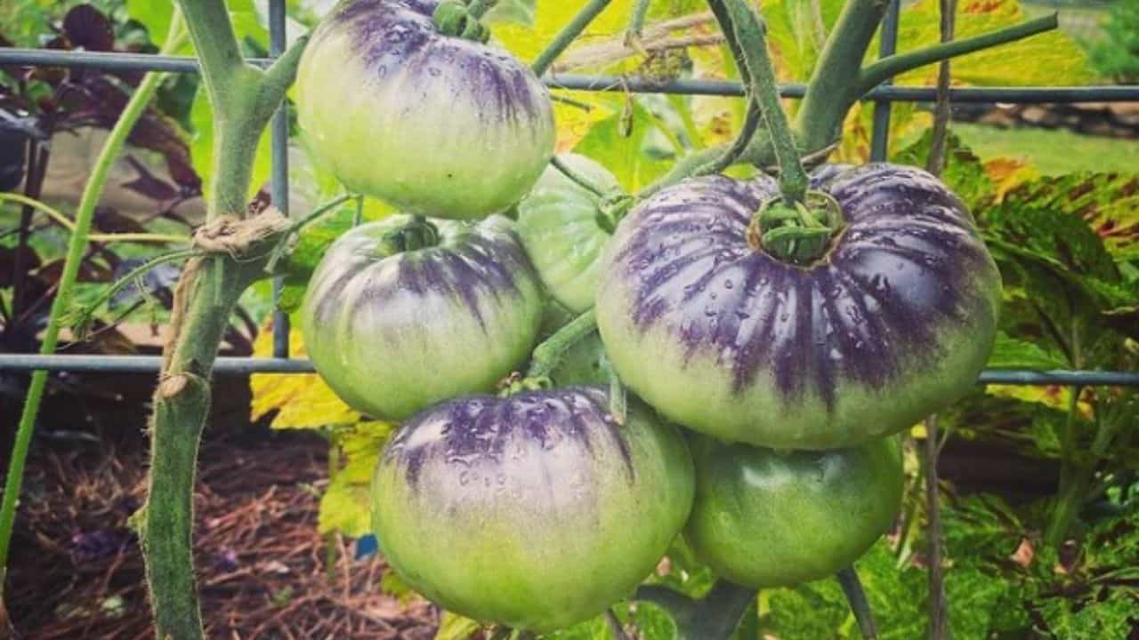 Blue Beauty Tomato