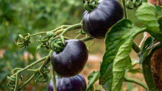 Blue tomato varieties