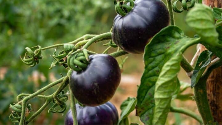 6 Different Varieties Of Blue Tomatoes That You Should Know!
