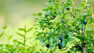 Blueberries Fertilizer