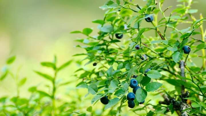 6 Best Fertilizers for Blueberries – A Buyers Guide