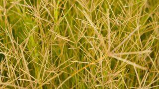 Brown Bermuda Grass