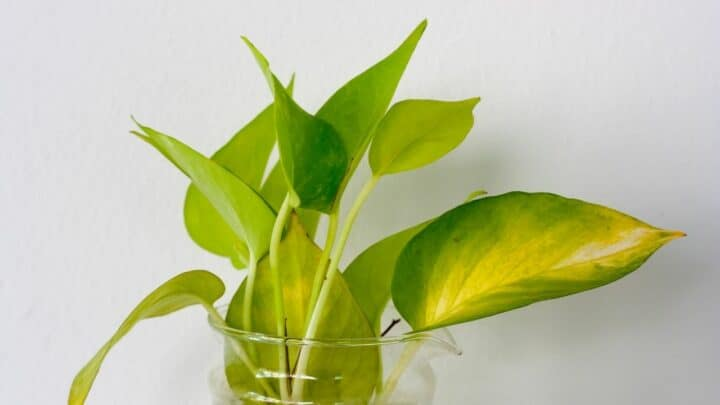 Why are There Brown Tips on My Pothos? The Answer!