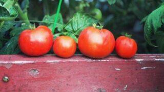 Bush Goliath Tomatoes