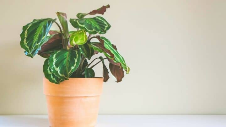 Calathea Medaillon Care — The Ultimate Guide