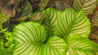 Calathea Orbifolia Care