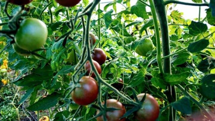 Chocolate Cherry Tomato Plant Care — A Definitive Guide