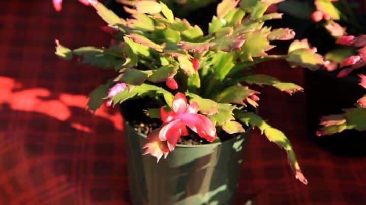 Christmas Cactus Stem Rot — Identification & Treatment