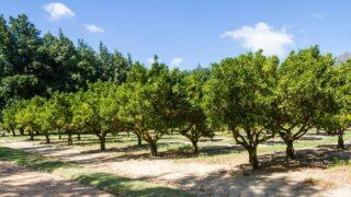 Citrus Trees Spacing