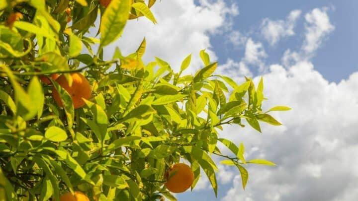 7 Best Citrus Tree Fertilizers – A Buyers Guide