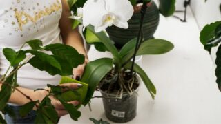 Cleaning Orchid Leaves