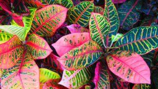 Croton Leaf Drop
