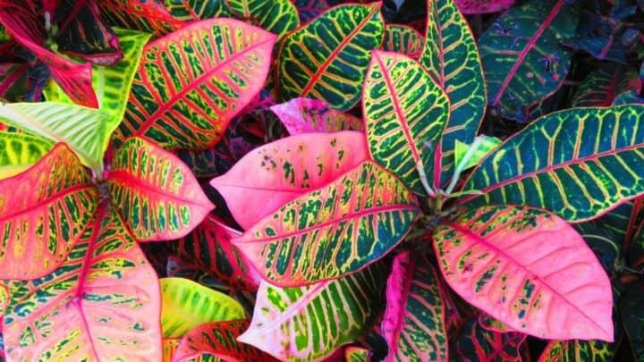 Croton Leaf Drop — Causes & Treatment