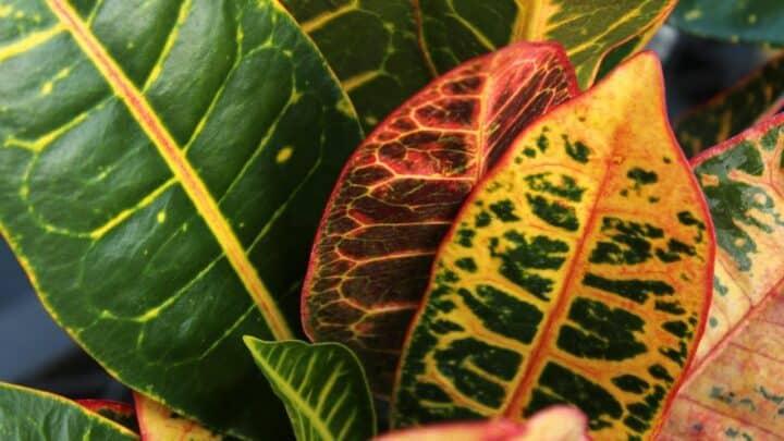 Croton Petra — Complete Care Guide