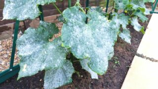 Cucumber White Leaves