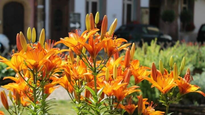 What To Plant With Daylilies – All You Need To Know