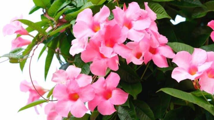 Dipladenia Plant Care — The Definitive Guide
