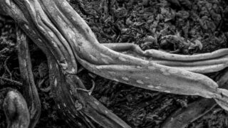Dying Orchid Root