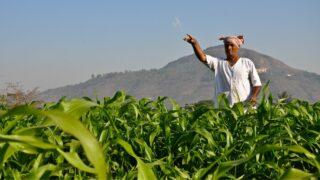 Corn Fertilizers