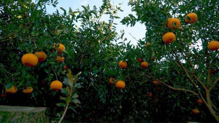 When to Fertilize A Citrus Tree? Let Me Think…