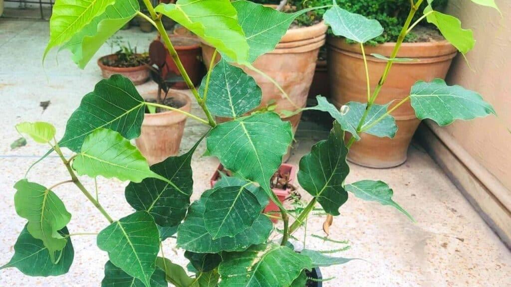 Ficus Religiosa Full Plant