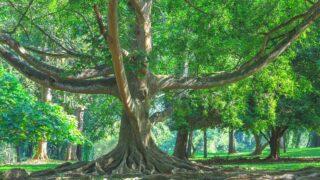 Ficus Tree Leaf Drop