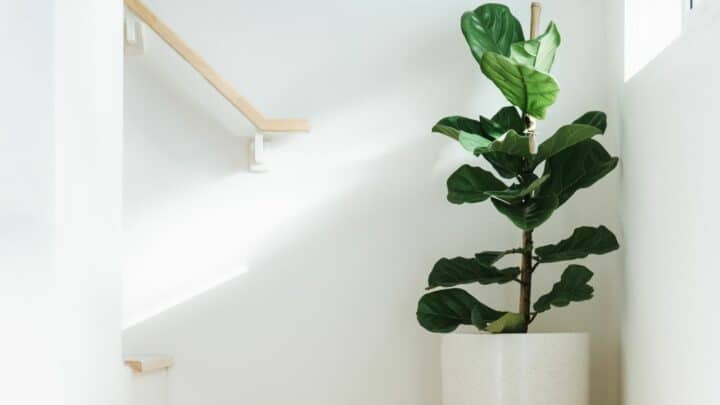How To Prune Fiddle Leaf Fig The Correct Way!