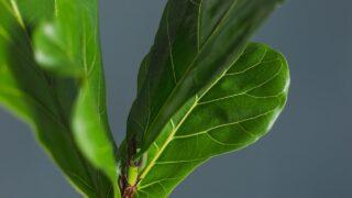 Fiddle Leaf Fig Leaf Drop