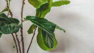 Fiddle Leaf Fig Stem