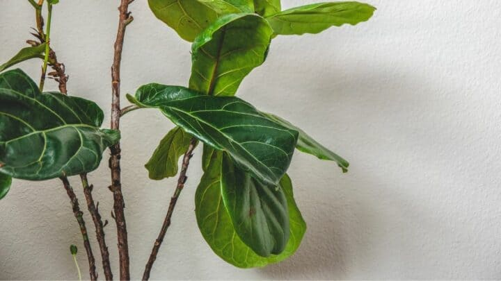 How To Thicken Fiddle Leaf Fig Trunk – A Must-Read Guide