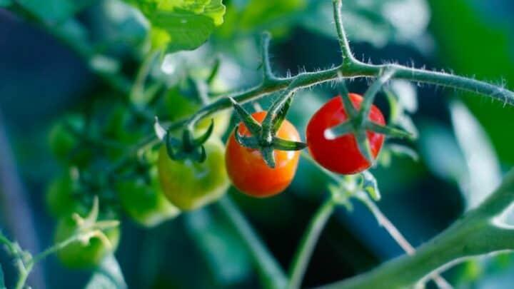 Grape Tomato Plant Care — A Definitive Guide