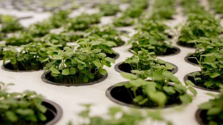 How to Grow Basil Hydroponically? 4 Steps You Should Know!